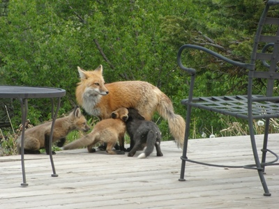 Fox%20Kits%205-09%20%2837%29%20small.jpg