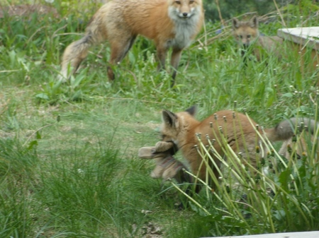 Fox%20Kits%205-09%20%2847%29%20SMALL.jpg