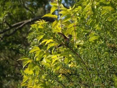 hummingbird%201.jpg